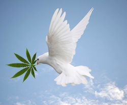 Dove_with_cannabis